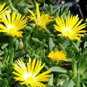 Delosperma Congestum Simplysucculents Co Uk