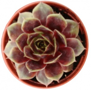 Sempervivum Heyling