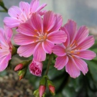 Lewisia Cotyledon Pink Orange.
