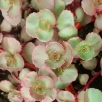 Sedum Spurium Dragons Bllood