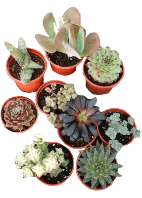 Example 8cm plant pots containing succulents
