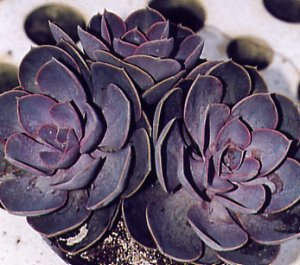 Echeveria Duchess of Nuremberg