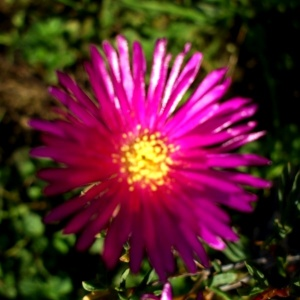 Lampranthus Tresco brilliant