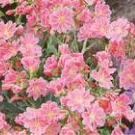 Lewisia Cotyledon Red Purple