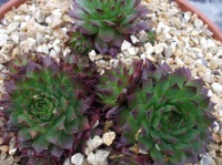 Sempervivum 'Flasher'