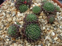 Sempervivum 'The Flintstones'