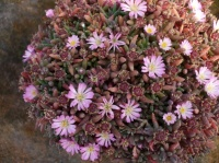 Delosperma 'Beaufort West'