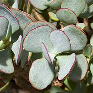 Crassula arborescens blue wave